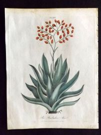 Wilkes Londinensis 1796 Hand Col Botanical Print. The Barbadoes Aloe